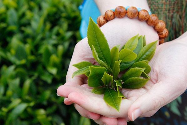 Cách trị mồ hôi tay chân bằng trà xanh