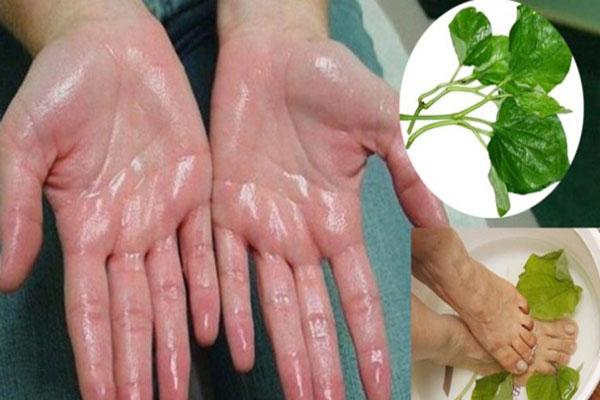 Cách chữa mồ hôi tay bằng lá lốt
